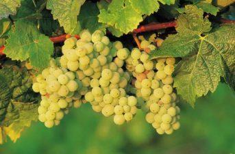 Különleges borok egyenesen Villányból!